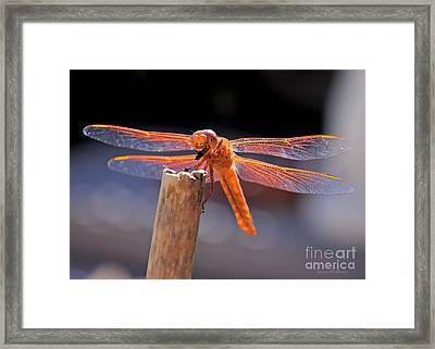 Dragonfly Eating An Insect Framed Print
