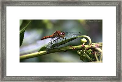 Dragonfly Female Framed Print by Anne Babineau