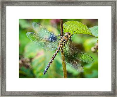 Framed Print featuring the photograph Dragonfly. by Gary Gillette