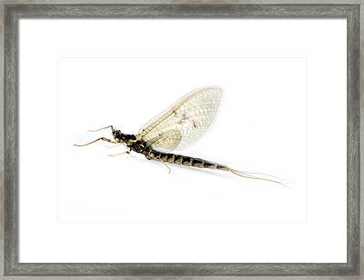 Dragonfly In Macro Framed Print by Tommytechno Sweden