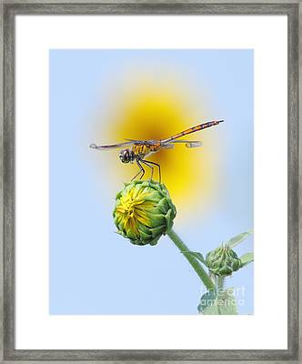 Dragonfly In Sunflowers Framed Print