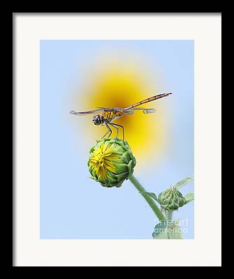 Mosquito Eater Framed Prints