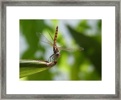 Dragonfly Framed Print by Janina  Suuronen
