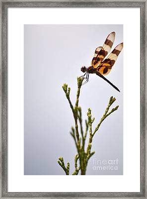 Dragonfly Lands Framed Print by Affini Woodley