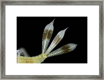 Dragonfly Larva Gills Framed Print