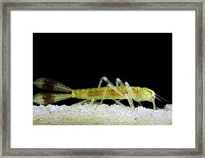Dragonfly Larva Tail Framed Print
