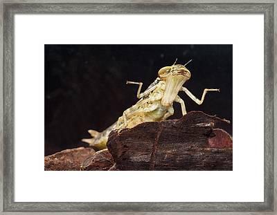 Dragonfly Larve Framed Print by Dirk Ercken