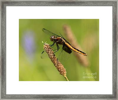 Dragonfly Lunch  Framed Print by Inspired Nature Photography Fine Art Photography