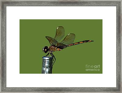 Framed Print featuring the photograph Dragonfly by Meg Rousher