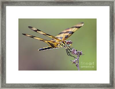 Framed Print featuring the photograph The Halloween Pennant Dragonfly by Olga Hamilton