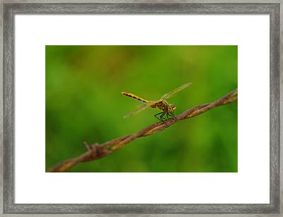 Dragonfly On Barbed Wire Framed Print by Jeff Swan