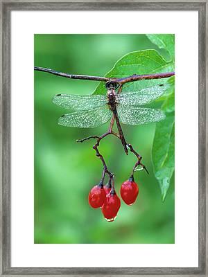 Dragonfly On Branch Framed Print