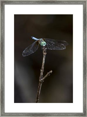 Dragonfly On Branch Framed Print by Paula Porterfield-Izzo