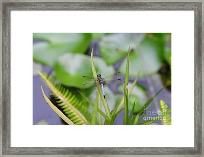 Dragonfly On Grass Over Pond With Fish Framed Print