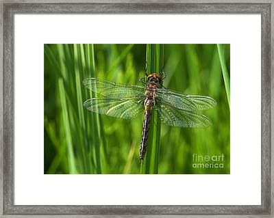Dragonfly On Grass Framed Print
