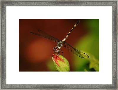 Framed Print featuring the photograph Dragonfly On Hibiscus by Leticia Latocki
