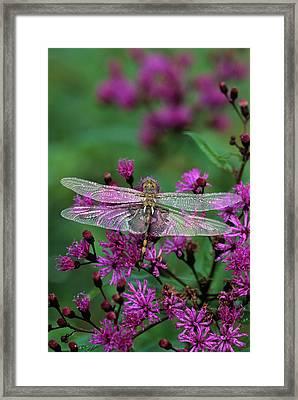 Dragonfly On Joe-pye Weed Framed Print