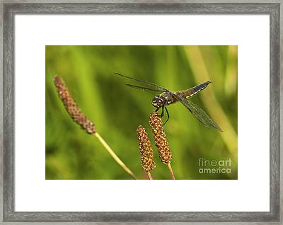 Dragonfly On Seed Pod 2 Framed Print by Sharon Talson