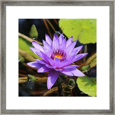 Dragonfly On Water Lily Square Framed Print by Carol Groenen