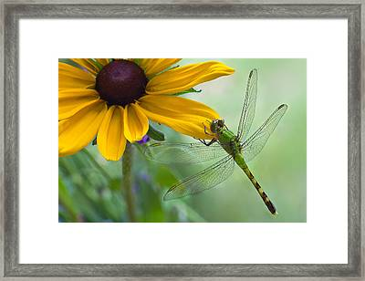 Dragonfly On Yellow Flower Framed Print by Dancasan Photography
