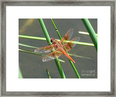 Framed Print featuring the photograph Dragonfly Orange by Kerri Mortenson