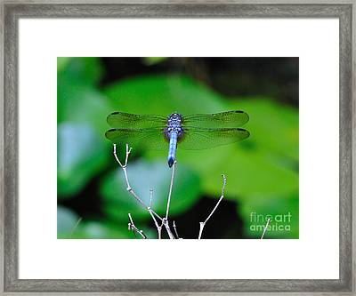 Dragonfly Water Lily - Blue Dragonfly At Rest Over Water Lilies Framed Print
