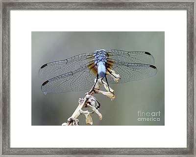 Dragonfly Wing Details II Framed Print by Lilliana Mendez