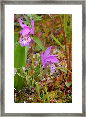 Dragon's Mouth Orchids #2 Framed Print by Sandra Updyke