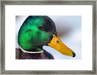 Drake Up Close Framed Print by Karol Livote