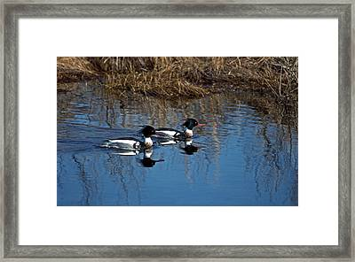 Drakes A Pair Framed Print by Skip Willits
