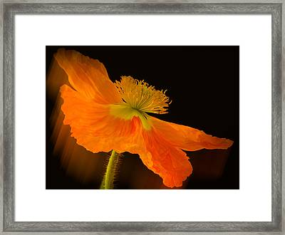 Dramatic Orange Poppy Framed Print