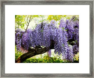 Draping Wisteria Framed Print by Jessica Jenney