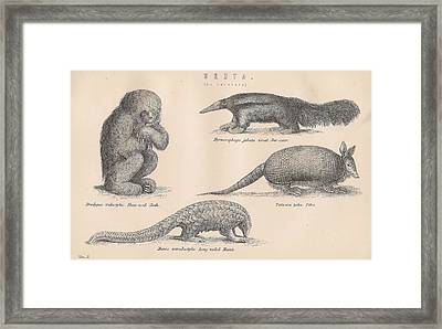 Drawings Of Unusual Animals Framed Print by Anon