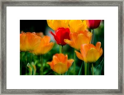 Dream Tulips Framed Print by Michael Hubley
