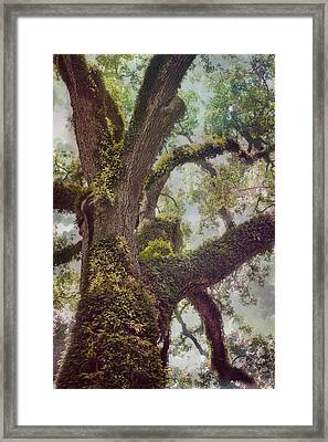Dreamer's Oak Framed Print by Maria Robinson