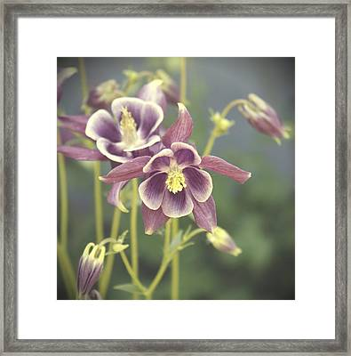 Dreamy Columbine Flowers Framed Print