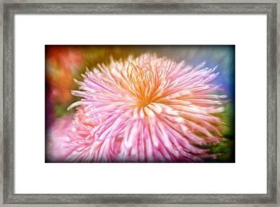 Dreamy Pink Chrysanthemum Framed Print