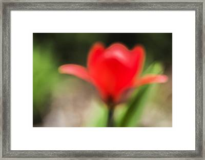 Dreamy Red Tulip Framed Print
