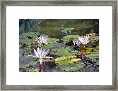 Dreamy  Water Lillies Framed Print by Judith Russell-Tooth