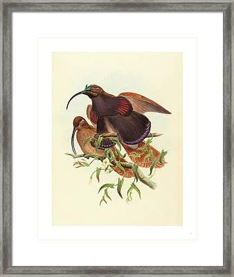 Drepanornis Albertisi Black-billed Sicklebill Bird Framed Print by John Gould (1804-1881) And W. Hart (fl. 1851-1898), English (fl. 1851-1898), English