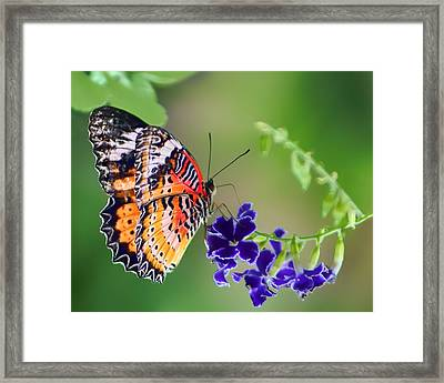 Dressed In Lace Framed Print by Nikolyn McDonald