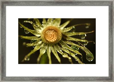 Dried Dandelion After Rain Framed Print by Iris Richardson