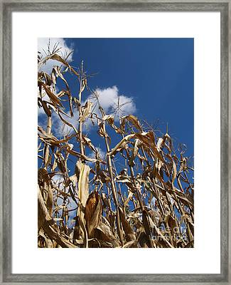 Dried Field Corn In Kutztown Pa Framed Print by Anna Lisa Yoder