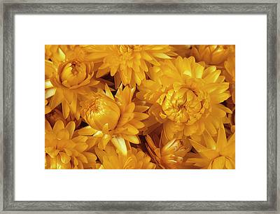 Dried Straw Flowers (helichrysum Sp.) Framed Print by Ann Pickford/science Photo Library