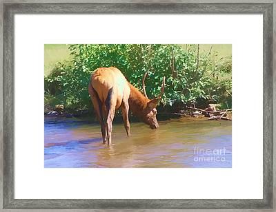 Drinking Elk Framed Print by Audreen Gieger