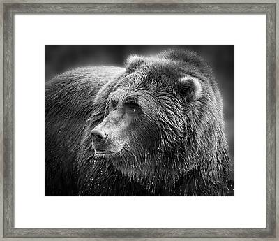 Drinking Grizzly Bear Black And White Framed Print by Steve McKinzie
