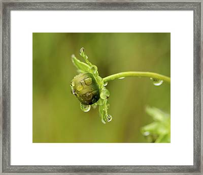 Drip Drip - Raindrops On Coreopsis  Framed Print by Jane Eleanor Nicholas