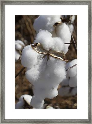 Dripping With Cotton - Ready For Harvest Framed Print by Kathy Clark
