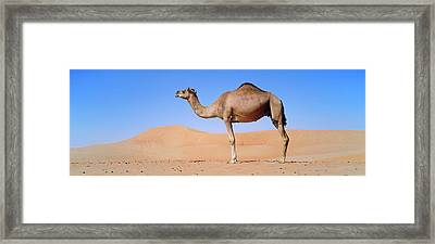 Dromedary Camel (camelus Dromedarius Framed Print by Martin Zwick