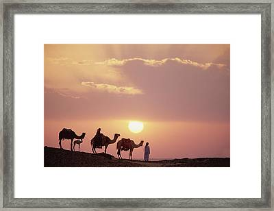 Dromedary Camels And Bedouins Sahara Framed Print